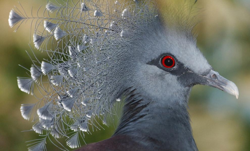 В окраске тела этой красивой птицы преобладают синеватые и аспидно-голубые тона.  (Фото Julie Larsen Maher...