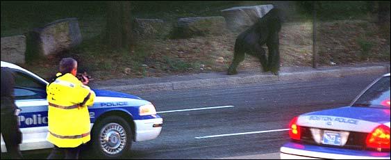 Boston com / News / Local / Mass  / Franklin Park gorilla