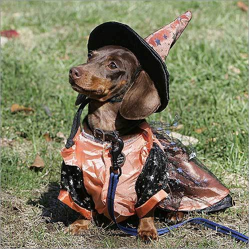 Dachshund Lilly a short haired miniature Dachshund was dressed in a witch & The 10 most popular dogs in Boston - Boston.com
