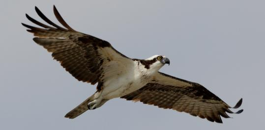 sparrow and osprey relationship
